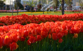 Picture Flowers, Spring, Tulips, Flowering