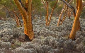 Picture trees, Australia, eucalyptus