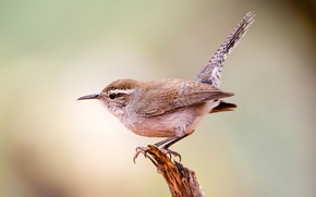 Picture bird, beak, tail, long-tailed Wren Buick