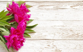 Wallpaper pink, wood, pink, flowers, beautiful, peonies, peony