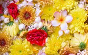 Picture flowers, chrysanthemum, plumeria