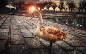 Picture the city, bird, Swan