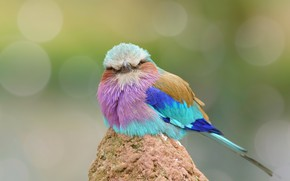 Picture bird, feathers, color, funny, Roller