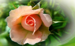 Picture flower, summer, nature, mood, rose, roses, beauty, rose, flower, beautiful, flowers, beautiful, beauty, harmony, cool, …