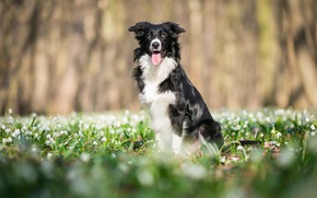 Picture forest, language, flowers, Park, glade, black and white, dog, spring, snowdrops, the border collie