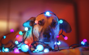 Wallpaper dog, look, garland, face, light bulb