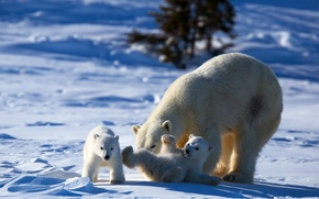 Picture play, bear, animals, nature, winter, snow, puppies, mother, Polar bear, cubs