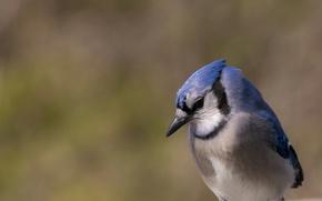 Picture nature, bird, beak, blue Jay