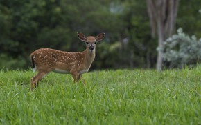 Picture grass, nature, deer, wool, large, color
