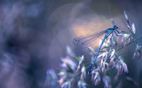 Wallpaper macro, nature, dragonfly, insect, a blade of grass, bokeh