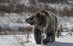Wallpaper bear, nature, winter