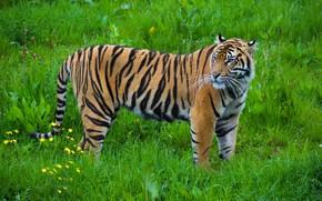 Picture strips, tiger, predator, grace, color, wild cat
