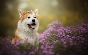 Picture face, flowers, portrait, dog, wreath, chrysanthemum, bokeh, Akita inu