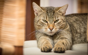 Picture cat, cat, look, grey, paws, lies, grey, unhappy, striped, harsh