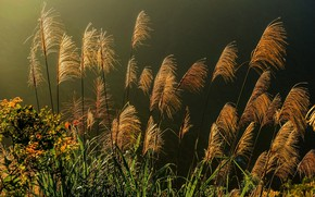 Picture field, the evening, spikelets, outdoor