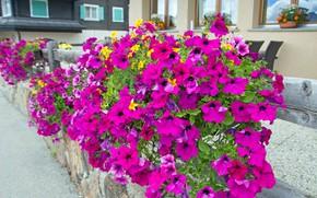 Picture tenderness, Bud, flowering, Petunia, petunias, calibrachoa