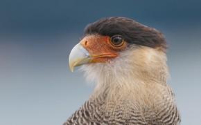 Picture bird, beak, portrait