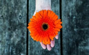 Picture flower, background, Board, hand, petals, gerbera, red flower, female hands, flower in hand