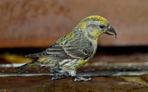 Picture bird, beak, Klest-elovik