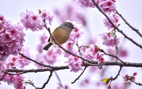 Picture branch, Sakura, bird