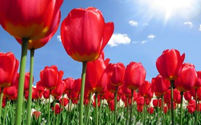 Picture the sky, nature, spring, tulips, plantation