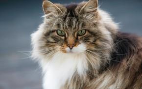 Picture portrait, look, Norwegian forest cat, cat, muzzle, fluffy, cat