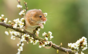 Picture branch, mouse, flowering, bokeh, rodent, The mouse is tiny, Harvest mouse