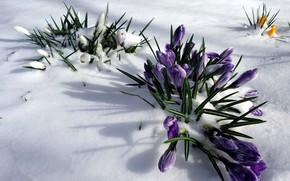 Picture snow, nature, spring, crocuses