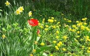 Picture flowers, Tulip, meadow, dandelions, spring 2018, Meduzanol ©