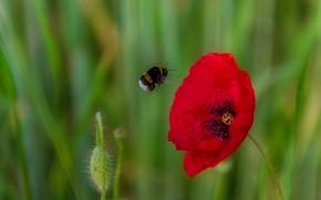 Picture flower, macro, nature, background, Mac, Bud, bumblebee