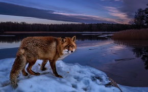 Wallpaper landscape, river, Fox, forest, the evening, shore, trees, nature, Fox, winter, red, snow