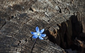 Picture flowers, nature, stump, spring, nature, flowers, snowdrop