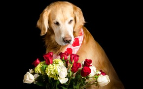 Picture face, flowers, roses, bouquet, red, red, white, black background, Golden, Retriever