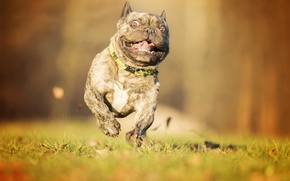 Picture look, dog, running, French bulldog