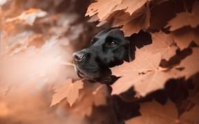 Wallpaper face, leaves, animal, dog, profile, maple, dog