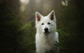 Picture forest, look, face, dog, The white Swiss shepherd dog