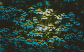 Picture chamomile, plants, macro flowers nature