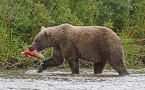 Picture nature, river, fish, hunting, brown bear, mammal