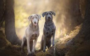 Picture bokeh, two dogs, Silver Labradors