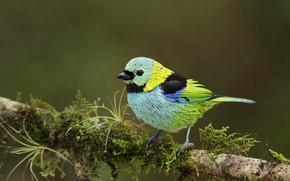 Picture bird, beak, tail, green Tanagra