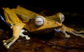 Picture animals, eyes, macro, sheet, leaf, frog, legs, black background, face, sitting, yellow, pupils, amphibians, amphibians, …