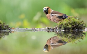 Picture water, reflection, bird, moss, Grosbeak