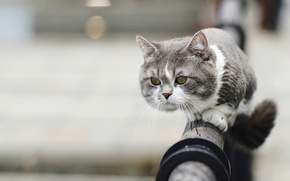 Picture cat, look, muzzle, sheared