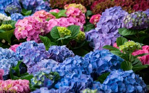 Picture Flowers, flowering, bushes, Hydrangea