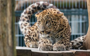 Wallpaper cat, eyes, look, pose, kitty, tree, the fence, legs, baby, leopard, tail, kitty, cub, zoo, ...