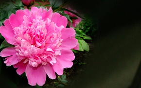 Picture summer, flowers, beauty is in simplicity, pink peony, author's photo by Elena Anikina