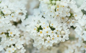 Picture spring, flowering, White lilac