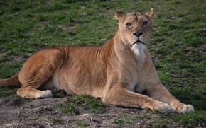 Picture Nature, Cat, Lioness, Weed, Stay