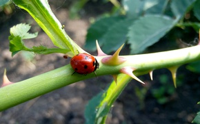 Picture ladybug, Beetle, spikes, the sun