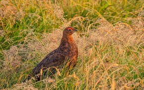 Picture grass, nature, bird, the grouse